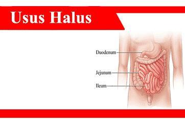 Usus-halus-struktur-komponen-enzim-fungsi-lapisan